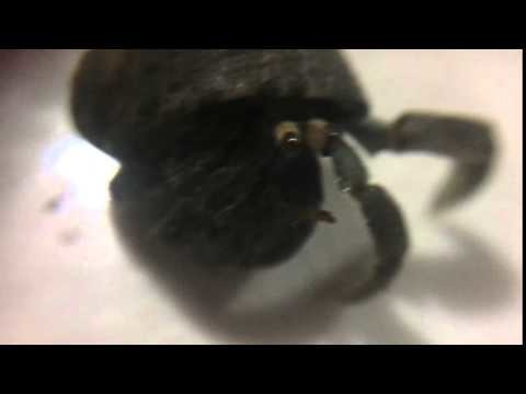 """Hermit crab on my kitchen counter with Miles Davis """"Ascenseur pour l'Échafaud"""" playing in the background."""